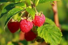 关闭被隔绝的草莓看法  白色和红色在焦点 被隔绝的复盆子灌木丛看法的美好的关闭 图库摄影