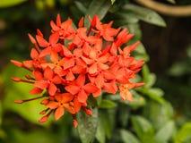 关闭西部印地安人茉莉花(中华的Ixora)开花的红色花  库存图片