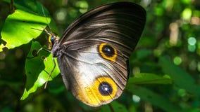 关闭观点的一只美丽的蝴蝶, Gam海岛,王侯Ampat,印度尼西亚,西部巴布亚 免版税库存照片