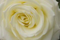关闭观点的一朵美丽的白色玫瑰 图库摄影