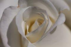 关闭观点的一朵美丽的白色玫瑰 库存照片