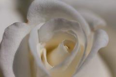 关闭观点的一朵美丽的白色玫瑰 免版税图库摄影