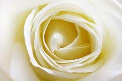 关闭观点的一朵美丽的白色玫瑰 免版税库存图片