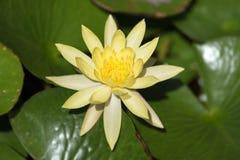 关闭观点的一朵美丽的黄色莲花 库存照片