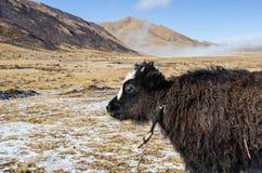 关闭观点的在高地西藏牧场地的一头年轻牦牛 库存照片