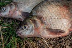 关闭观点的在绿草的几条共同的鲂鱼 抓住 免版税图库摄影