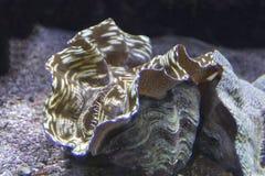 关闭观点的巨蛤蛤蜊 免版税库存图片