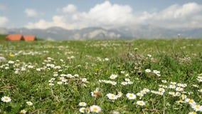 关闭观点的春黄菊在多山阿尔卑斯地区,与一个遥远的小村庄 非都市区域 没有人民 股票视频