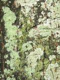 关闭观点的某一干燥青苔和地衣在树 库存图片