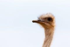 关闭观点的驼鸟 免版税库存图片