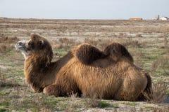 关闭观点的说谎的双峰的骆驼在一个村庄的背景中哈萨克人干燥干草原的 免版税库存图片