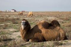 关闭观点的说谎的双峰的骆驼在一个村庄的背景中哈萨克人干燥干草原的 免版税图库摄影