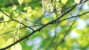 关闭角树枝杈和绽放与蜘蛛网 迟缓地 影视素材