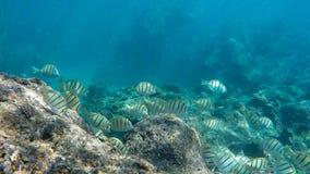 关闭证明有罪特性学校哺养在礁石的在hanauma海湾 库存图片