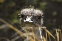 关闭调查照相机的驼鸟 库存图片