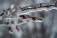 关闭象树枝的一块冻玻璃与芽 免版税库存照片