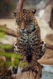关闭豹子,看目光接触的豹属充分的身体  免版税库存图片