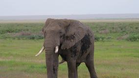 关闭走横跨大草原平原的一头成人狂放的非洲大象 影视素材