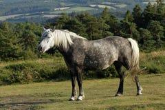 关闭起斑纹的灰色小马 免版税库存照片