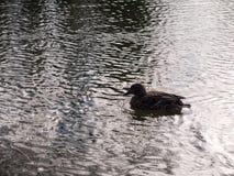 关闭趟过在水表面波纹的母棕色野鸭鸭子画象  免版税库存图片