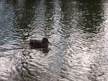 关闭趟过在水表面波纹的母棕色野鸭鸭子画象  库存图片