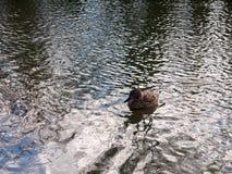 关闭趟过在水表面波纹的母棕色野鸭鸭子画象  库存照片