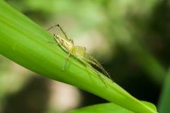 关闭跳跃的蜘蛛在雨林里 免版税图库摄影