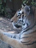 关闭躺下一只困看的老虎的外形 库存照片