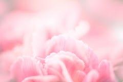 关闭选择聚焦甜桃红色康乃馨的开花 免版税图库摄影