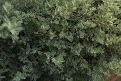 关闭选择聚焦blured绿色灌木草的叶子的和 库存照片
