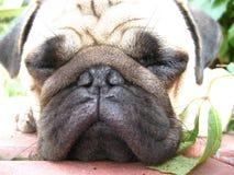 关闭逗人喜爱的哈巴狗狗小狗睡觉休息的面孔 免版税库存照片