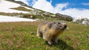 关闭逗人喜爱的幼小滑稽的土拨鼠,看照相机,正面图 野生生物和自然保护在意大利法国阿尔卑斯 Summ 库存照片