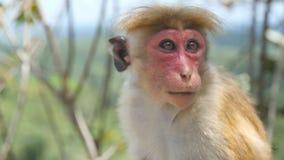 关闭逗人喜爱的滑稽的猴子在热带公园坐晴天 休息在雨林的野生小短尾猿被弄脏 影视素材