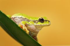关闭逗人喜爱的雨蛙arborea 库存照片