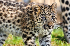 关闭逗人喜爱的婴孩阿穆尔河豹子Cub 图库摄影