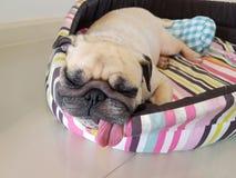 关闭逗人喜爱的滑稽的小狗哈巴狗狗睡眠基于的面孔枕头床的与非常突出的舌头  库存图片