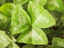 关闭酢浆草多样化的叶子 免版税库存照片