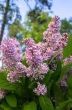 关闭野生森林丁香豪华的开花的小树枝  免版税库存照片