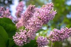 关闭野生森林丁香豪华的开花的小树枝  库存照片
