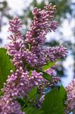 关闭野生森林丁香豪华的开花的小树枝  库存图片