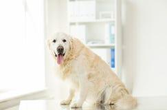 关闭金毛猎犬狗在狩医诊所 库存图片