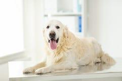 关闭金毛猎犬狗在狩医诊所 库存照片