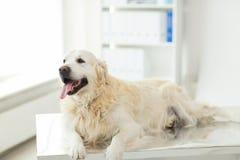 关闭金毛猎犬狗在狩医诊所 免版税库存图片