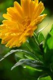 关闭金盏草Officinalis金盏菊花在庭院里在一个晴天由玛丽亚Rutkovska 库存照片