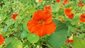 关闭金莲花或Capucine花的看法 免版税库存照片