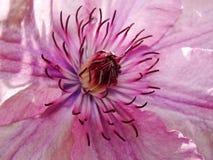 关闭铁线莲属花 铁线莲属细节 显示紫色的铁线莲属花的特写镜头发出丁当声有低景深的雄芯花蕊 免版税库存照片