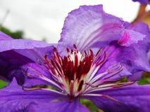 关闭铁线莲属花 铁线莲属细节 显示紫色的铁线莲属花的特写镜头发出丁当声有低景深的雄芯花蕊 图库摄影