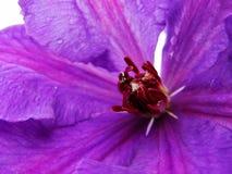 关闭铁线莲属花 铁线莲属细节 显示紫色的铁线莲属花的特写镜头发出丁当声有低景深的雄芯花蕊 库存图片