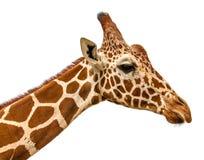 关闭长颈鹿在白色的题头孤立射击 免版税库存照片