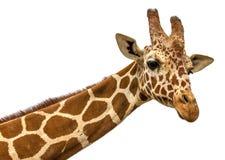 关闭长颈鹿在白色的题头孤立射击 库存图片